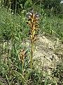 Phelipanche purpurea sl28.jpg