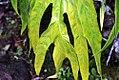 Philodendron bipinnatifidum 8zz.jpg