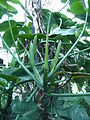 Philodendron cannifolium 01 by Line1.JPG