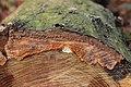Phlebia radiata 57219455.jpg