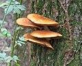 Pholiota aurivella 55120214.jpg
