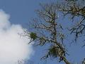 Phoradendron flavescens 01074.JPG