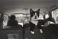 Photograph of Socks the Cat Perched on the Backseat of a Van- 09-16-1993 (6461497597).jpg