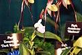 Phragmipedium schlimii Pretty in Pink 1zz.jpg