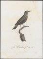 Phyllornis malabarica - 1802 - Print - Iconographia Zoologica - Special Collections University of Amsterdam - UBA01 IZ16500087.tif