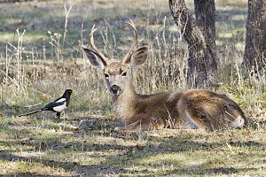 Yellow-billed magpie - With black-tailed deer in California