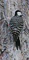 Picoides borealis jcwf2.jpg