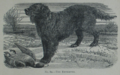 Picture Natural History - No 80 - The Retriever.png