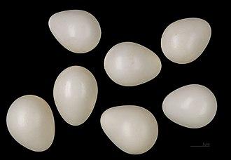 Grey-headed woodpecker - Eggs of Picus canus