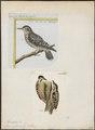 Picus moluccensis - 1700-1880 - Print - Iconographia Zoologica - Special Collections University of Amsterdam - UBA01 IZ18700085.tif