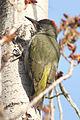 Picus viridis sharpei 087.jpg