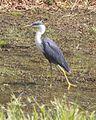 Pied Heron (Egretta picata) - Flickr - Lip Kee (2).jpg