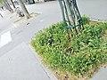 Pied d'arbre - Quai de la Tournelle.jpg