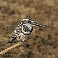 Pied kingfisher (Ceryle rudis leucomelanurus) male.jpg