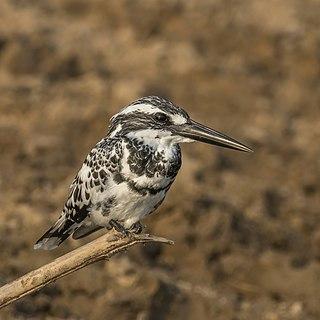 Pied kingfisher Species of bird