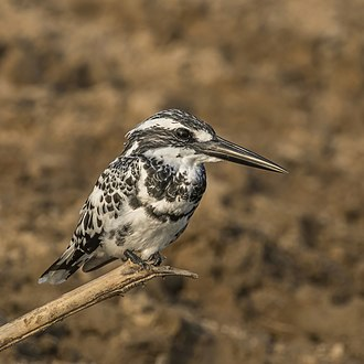 Pied kingfisher - Image: Pied kingfisher (Ceryle rudis leucomelanurus) male
