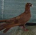 Pigeon haut-volant de Dantzig rouge.jpg