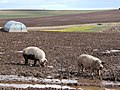 Pigs and Daffodils - geograph.org.uk - 744513.jpg
