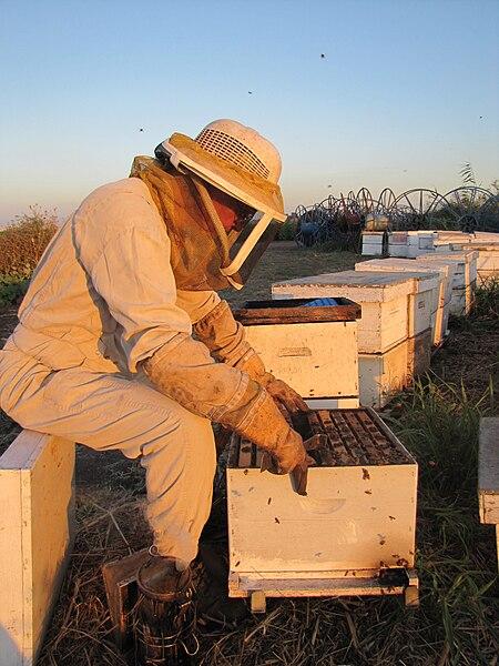דבוראי מטפל בכוורות