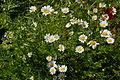PikiWiki Israel 34797 Plants of Israel.JPG