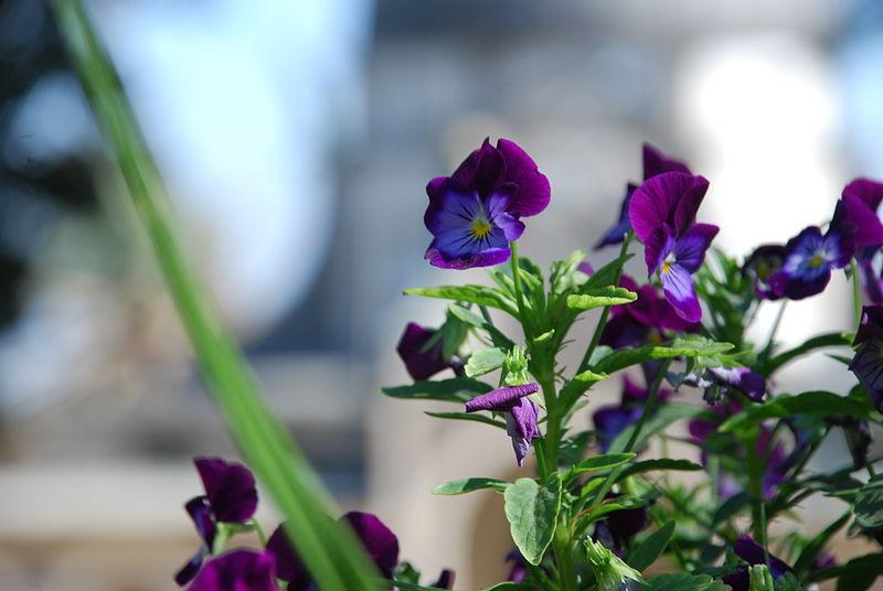 Tiberias Flowers
