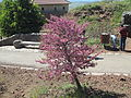 PikiWiki Israel 42399 Cercis siliquastrum on Mt. Bental Golan Heights.JPG