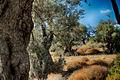 PikiWiki Israel 46698 olives.jpg
