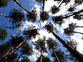 Pine-wood near Krasny Luch.jpg