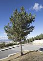 Pine - Çam.jpg