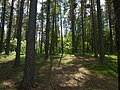 Pine forest, lakeside (5918862805).jpg