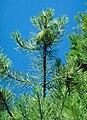 Pinus attenuata BLM2.jpg