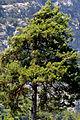 Pinus brutia - Kızılçam - Turkish pine 08.JPG