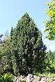 Pinus cembra Rogów.JPG