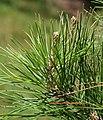 Pinus echinata 03.jpg