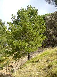 Pinus greggii 03.jpg