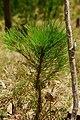 Pinus kesiya seedling MtUgo.jpg