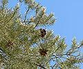 Pinus monophylla 1.jpg
