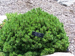 Pinus mugo valley cushion MN 2007.JPG