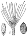 Pinus resinosa drawing.png