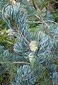 Pinus wangii subsp kwangtungensis kz4.jpg