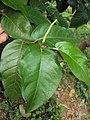 Piper colubrinum 04a.JPG