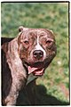 Pit bull with cropped ears at SFACC.jpg