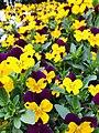 Pitunia flowers.jpg