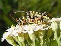 Plagionotus floralis couple.jpg