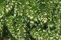 Plagiothecium curvifolium (b, 144830-474708) 6137.JPG