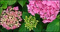 Plant-Hydrangea macrophylla-Hortensia-01.jpg