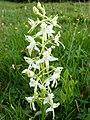 Platanthera bifolia (massif des Vosges).jpg
