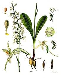 Platanthera bifolia - Köhler–s Medizinal-Pflanzen-245.jpg