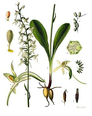 Platanthera bifolia - Image: Platanthera bifolia Köhler–s Medizinal Pflanzen 245