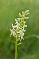 Platanthera bifolia - kahelehine käokeel.jpg